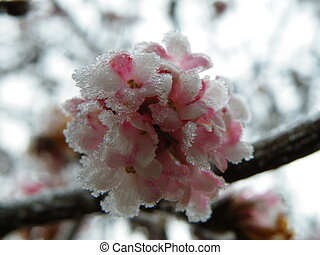 Hoar Blossom - Crab-apple Blossom in January covered in hoar...