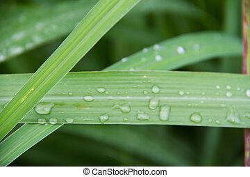 lemon grass leaf background