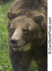 Brown Bear - Wild Brown Bear Ursus americanus horribilis...