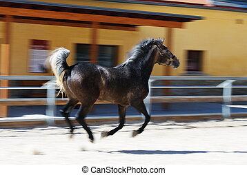 Lipizzaner - Motion photo of young Lipizzaner stallion in...