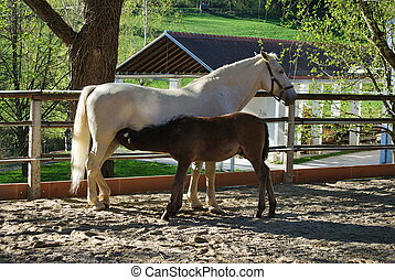 Lipizzaner mare with her foal in Federal Stud Piber in...