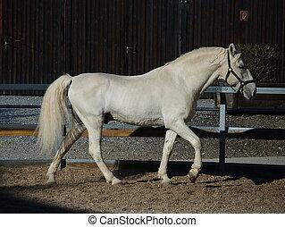 Lipizzaner stallion in Federal Stud Piber in...
