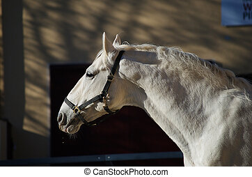 Lipizzaner stallion in Federal Stud Piber in...