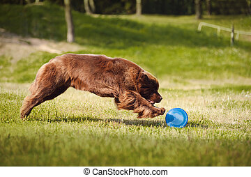 Newfoundland dog catching the Frisbee - a big brown...