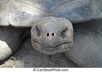 Craggy face of a Galapagos tortoise - Closeup of a Galapagos...