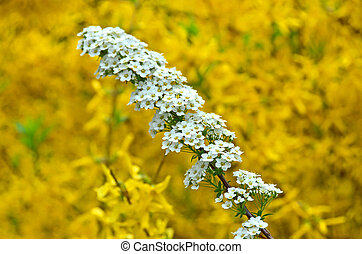 Spiraea alpine spring flower - white flowering shrub