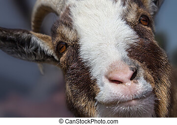 Happy Smiling Goat on Blured Background