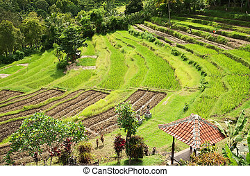 Green rice terraces. Bali, Indonesia. - Green rice terraces....