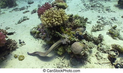 Moray on Coral Reef