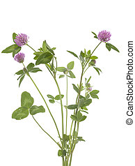 red clover (Trifolium pratense) on white background