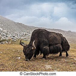 Yak grazing in Himalayas Ladakh, India