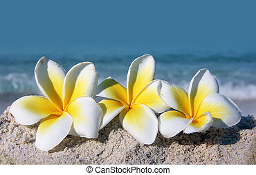 Flowers on the beach - Temple tree flowers lying on the...