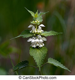 White nettle (Lamium album) - The White nettle (Lamium...