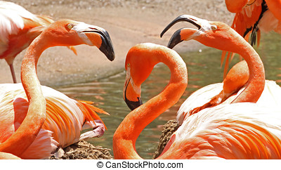 Three American Flamingos in a Nesting Dispute