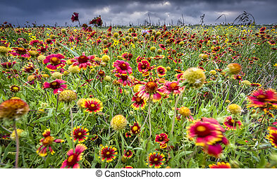 Texas Wildflowers - Windblown Indian blankets and sunflowers...