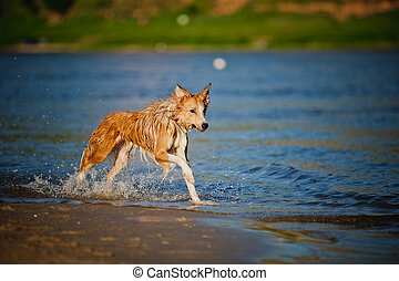 Happy dog running in the water
