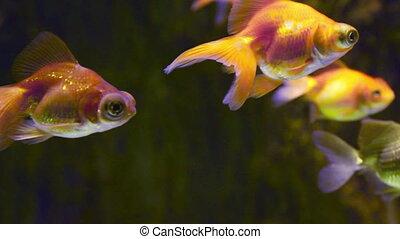 many goldfishes in aquarium