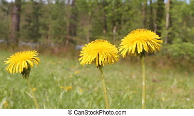 May dandelions - dandelions on a forest glade in May