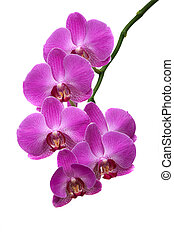 Orchid - Beautiful tropical orchids