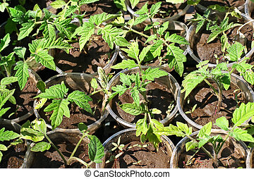 Green tomato seedling - Green tomato seedling in a small...
