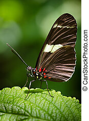 Doris Longwing butterfly - Macro image of Doris Longwing...