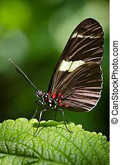 Doris Longwing butterfly - Macro image of Doris Longwing...