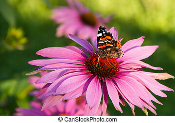 Echinacea with butterfly - Pink flower of echinacea with...