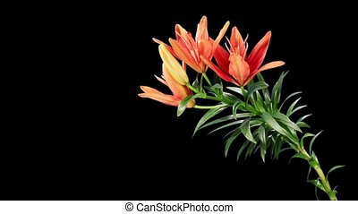 Blooming red lily flower buds ALPHA matte Lilium Red Twin,...