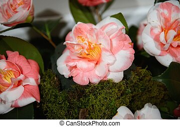 Camellia, flowers, exposition - Exhibition, exposition of...