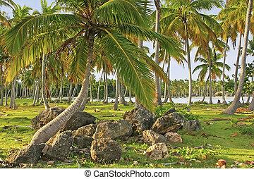 Coconut trees grove, Las Galeras beach, Samana peninsula,...