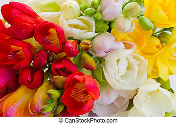 blooming flowers - multicoloured fresh spring freesias...
