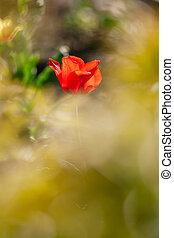 Red single tulip - Young red single tulip. Shallow depth of...