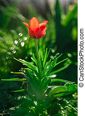 Red single tulip - Young red single tulip Shallow depth of...