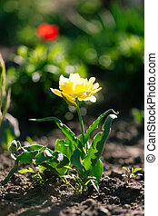 Yellow single tulip - Young yellow single tulip Shallow...