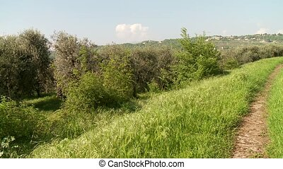 Olive Trees - olive plantation in north italy in spring