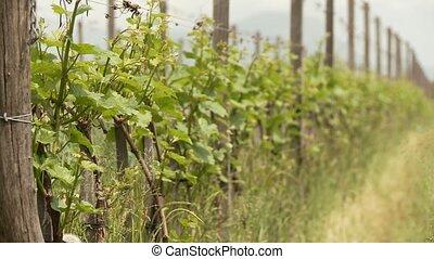Vine Plants - video footage of vine growing in south tyrol,...