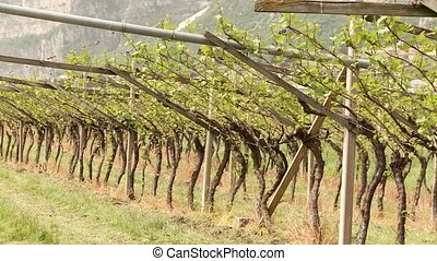 Vine Growing - video footage of vine growing in south tyrol,...