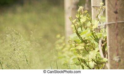 Vine Growing - video footage of vine growing in south tyrol,...