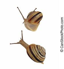 Garden Snail, Helix aspersa