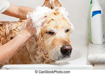 Bathroom to a dog - A dog taking a shower with soap and...