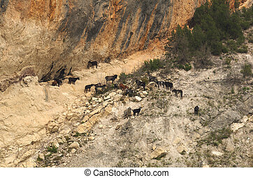 Wild goats - Herd of wild goats in the mountains, Aragone,...