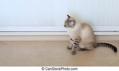 Thai cat shakes his head