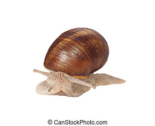 Garden snail (Helix aspersa) isolated on white