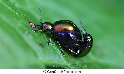 Dock leaf beetle - mating - Dock leaf beetle - Gastrophysa...