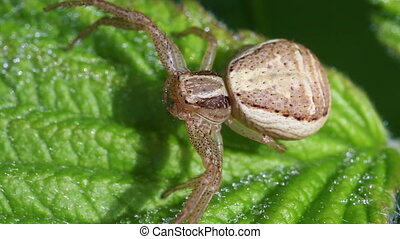 Crab Spider - Thomisidae