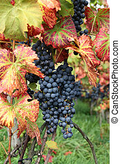 Wine grape Pinot noir with green-red vine leaves in vine...