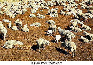 Sheep in Peru,South America