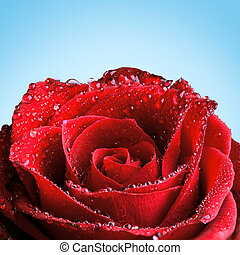 Red Rose with Dew - Red rose covered in dew in front of a...