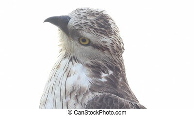 Rough-legged buzzard on a white background close up