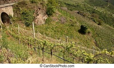 Grapevine in south tyrol in italy